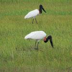 Jabiro Storch