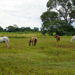 Hauspferde um unsere Lodge (horses around the lodge)