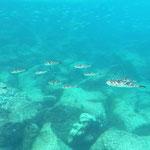Kugelfische