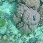 Coral with Tridacna shells