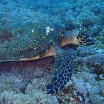 See-Schildkröte