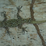 African gecko, adventive