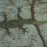 Afrikanische Gecko, eingeschleppte Art