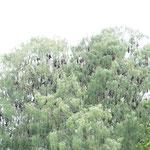 Flughunde ruhen sich in den Bäumen aus