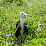 Fregattvogel Baby