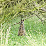 Wallaby in Phillip Island Nature Park