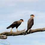 Southern Crested Caracaras