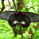 黒アゲハ / Black swallowtail