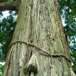 巨木 / Holy tree