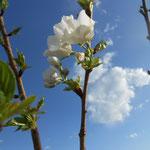 こちらの花は山桜でなく、大島桜のようです。山桜と同じく自生種。
