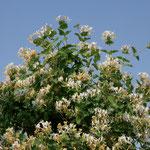 Garten-Geißblatt/Jelängerjelieber (Lonicera caprifolium)