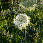 Wilde Möhre (Daucus carota)