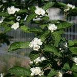 Mispelweißdorn (Crataemespilus grandiflora)