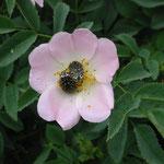 Käfer auf Wildrosenblüte