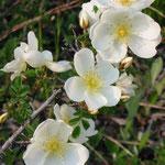 Kriechende Bibernellrose (Rosa pimpinellifolia Repens)
