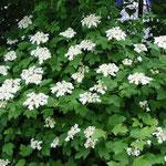 Zwerg-Schneeball (Viburnum opulus Compactum)