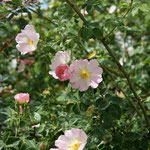 Raublättrige Rose (Rosa jundzillii)