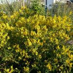 Färberginster (Genista tinctoria)