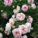 """Bibernellrose """"Marbled Pink"""""""