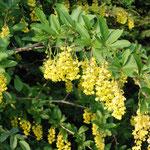 Berberitze/Sauerdorn (Berberis vulgaris)