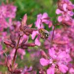 Biene beim Besuch einer Pechnelke