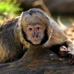 Gelbbrustkapuziner - Zoo Zürich