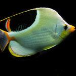 Zoo Basel - Sattelfleck-Falterfisch