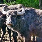 ... Mama Wasserbüffel gefiel das gar nicht - 800 kg Rindersteak setzten sich in Bewegung und mir blieb nur der geordnete Rückzug