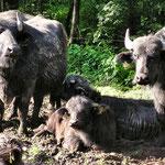 zu Besuch bei Familie Wasserbüffel im Hafenlohrtal