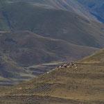 Azerbaijan - Schafe in einer spektakuläre Landschaften auf der Fahrt von Quba nach Xinaliq
