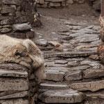 Azerbaijan - Schlafender Hund in Xinaliq