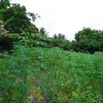 Uma plantação de macaxeira