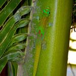 Phelsuma l. laticauda, Nosy Be