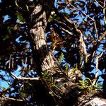 Phelsuma rosagularis im Habitat