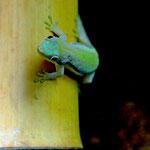 Phelsuma hoeschi, Männchen