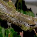 Phelsuma breviceps, subadult