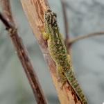 Phelsuma rosagularis, Weibchen im Terrarium beim Aufwärmen