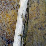 Phelsuma hoeschi, Weibchen