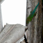 Phelsuma cepediana, Männchen an einer Ravenala im Biotop, Foto M. Bartels