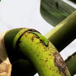 Phelsuma cepediana, Weibchen im Biotop, Foto M. Bartels