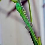 Phelsuma kochi, Schlüpfling