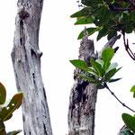 Phelsuma cepediana, Pärchen beim Aufwärmen im Biotop