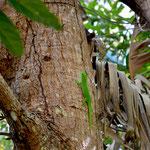 Phelsuma grandis, Nosy Sakatia, ohne Rotanteil