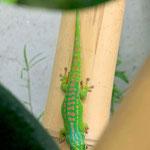 Phelsuma guimbeaui, Weibchen