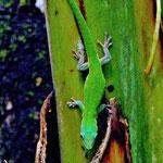 Phelsuma cepediana, Weibchen im Biotop
