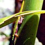 Phelsuma cepediana, Weibchen im Biotop mit auffällig vielen Blutmilben