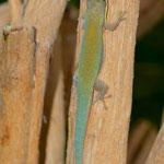 Phelsuma modesta leiogaster, Männchen