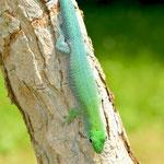 Phelsuma kochi, Weibchen mit auffälliger Blaufärbung