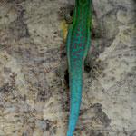 Phelsuma cepediana, Weibchen der Montagne Cocotte Linie