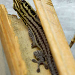 Phelsuma pronki, Männchen